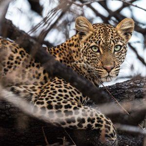 jabali-leopard