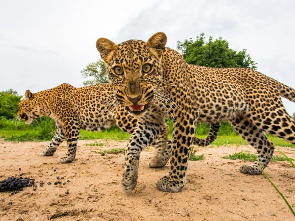 A young leopard snarls at a remote camera as she follows her mother.  The mother was leading her cub to a kill that she had hidden in the undergrowth. Since I knew where the leopard was heading, I was able to position myself infront of her and set up my remote camera. South Luangwa National Park, Zambia.