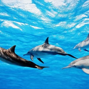 dolphins-swimming-in-water